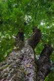 Haut arbre simple dramatique dans la forêt Photos libres de droits