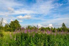 Haut Cypress a fleuri sur le champ images stock