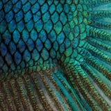 Haut eines blauen siamesischen kämpfenden Fisches Stockfotografie