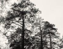 Haut pin contre le ciel Photo libre de droits