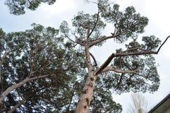 Haut pin criméen photographie stock libre de droits