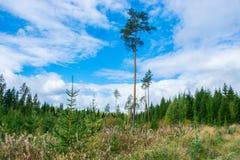 Haut pin vert sur un fond de ciel bleu lumineux Sapins verts, nuages blancs sur le ciel bleu image libre de droits