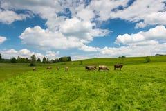 Haut pré d'herbe avec frôler des vaches photos stock