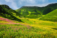 Haut pré de vert de montagne de tatras avec les fleurs sauvages Image libre de droits