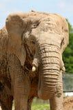Haut proche d'éléphant Images libres de droits