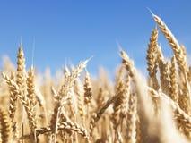 Haut proche de blé Image stock