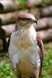 Haut proche de faucon Photos libres de droits