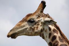 Haut proche de giraffe Photos stock