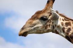 Haut proche de giraffe Images libres de droits