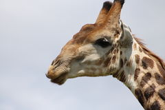 Haut proche de giraffe Images stock