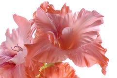 Haut proche de Gladiolus Photographie stock