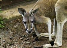 Haut proche de kangourou Photos stock