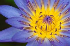 Haut proche de lotus Image libre de droits