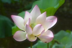 Haut proche de lotus Photos libres de droits