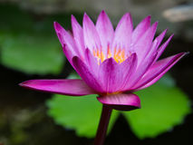 Haut proche de lotus Images stock