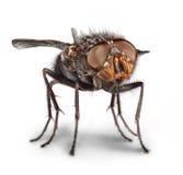 Haut proche de mouche Photographie stock