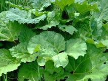 Haut proche de rhubarbe Photo stock