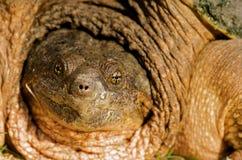Haut proche de tortue étant enclenchée. Photographie stock libre de droits