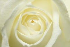 haut rose proche Image libre de droits