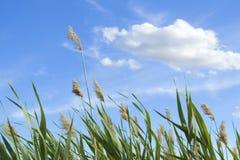 Haut roseau contre le ciel nuageux Photos libres de droits