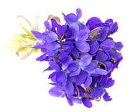 Haut étroit de fleurs de violettes de ressort Images stock