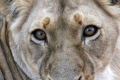 Haut étroit de lionne de regarder Images stock