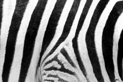 Haut von Zebra Stockfotografie