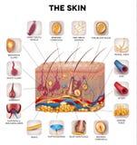 Hautanatomie vektor abbildung