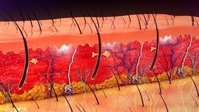 Hautanatomie stockfotos