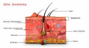 Hautanatomie beschriftet Stockbild