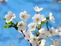 Haute fleur 2018 de fleurs de cerisier de parc de Toronto Photographie stock
