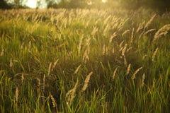 Haute herbe dans le domaine au coucher du soleil Images stock