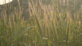 Haute herbe fraîche dans le pré au coucher du soleil Blé vert balançant en vent au crépuscule Champ dans la soirée d'été clips vidéos
