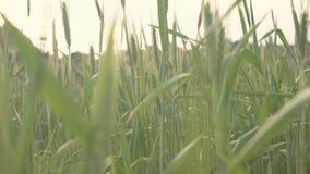 Haute herbe fraîche dans le pré au coucher du soleil Blé vert balançant en vent au crépuscule Champ dans la soirée d'été banque de vidéos