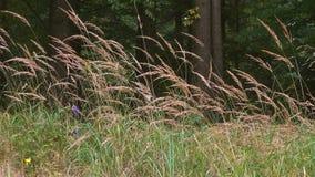 Haute herbe sur le pré se déplaçant en vent clips vidéos