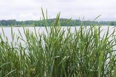 Haute herbe sur un fond de forêt et de ciel photo stock