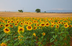 Haute Provence. Sunflower fields and wheat, typical in Haute Provence, France Stock Photos