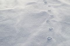 Haute relief of paw prints in blowing snow. Strong winds have eroded the loose snow around the compressed paw prints royalty free stock images