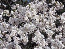 Hautes fleurs de cerisier 2018 de parc de Toronto Photos libres de droits