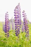 Hautes fleurs pourprées Photo libre de droits