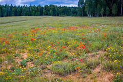 Hautes fleurs sauvages alpines Images libres de droits