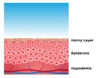 Hauthintergrund, Hautanatomie Stockfoto