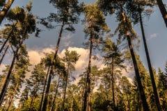 Hauts arbres dans une rangée de forêt photos stock