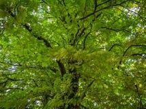 Hauts arbres drammatic dans la forêt au cours de la journée Images libres de droits