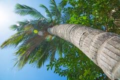 Hauts, beaux palmiers, ciel clair, le sable, les tropiques chauds Images libres de droits