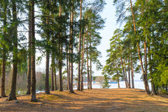 Hauts pins à feuilles persistantes près d'un lac Images libres de droits