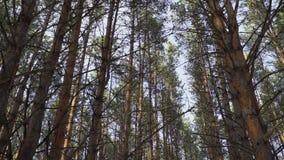 Hauts pins dans le balancement de forêt banque de vidéos