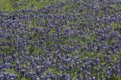 Hav av bluebonnets Fotografering för Bildbyråer