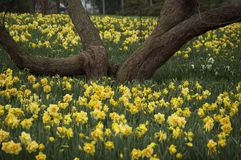 Hav av gula påskliljor under ett träd Arkivfoto