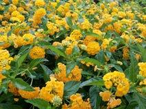 Hav av guling arkivfoton